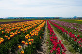 Diagonal rows of multicolored tulips - yellow, red and purple — Stock Photo