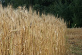 Wheat field in a forest — Stock Photo