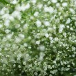 Stock Photo: White flower gypsophila.