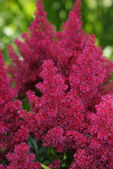 Astilbe red flower. — Stock Photo