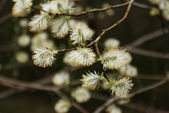 Flowering willow branch. — Stock Photo
