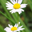 Stock Photo: Daisies on a background of green grass