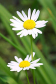 Daisies on a background of green grass — Stock Photo