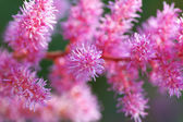 Part of pink flower blossoms. — Stock Photo