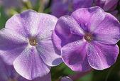 Phlox flower — Stock Photo