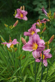 Purple daylily — Stock Photo