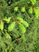 Young spruce branches in the spring. — Stock Photo