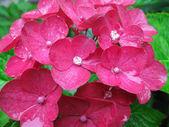 Pink hydrangea flower — Stock Photo
