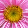Pink aster flower.  — Stock Photo