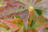 Part of red maple leaves. — Stock Photo