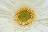 Part of the flower gerbera — Stock Photo
