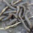 Gray worms crawling on the ground. — Stock Photo