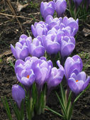 Purple crocus flowers — Stock Photo