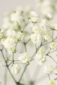 White flower gypsophila. — Stock Photo