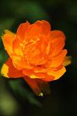 庭のオレンジ色の花. — ストック写真