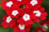 庭の赤い花. — ストック写真