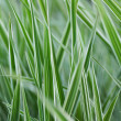 Green grass with white streaks. — Stock Photo #50365553