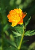 Orange flower in the garden. — Stock Photo