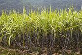 Sugar Cane — Stock Photo