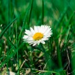 Daisy in the grass. — Stock Photo #22313039