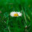 Daisy in the grass. — Stock Photo #22313059