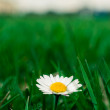 Daisy in the grass. — Stock Photo #22313101