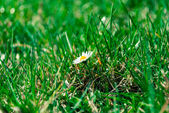 Daisy in the grass. — Stock Photo