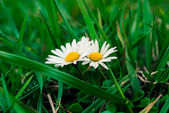 Daisies in the grass. — Stock Photo