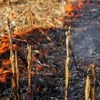 Corn Field Fire — Stock Photo