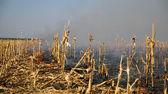 Corn Field on Fire — Stock Photo