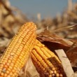 Yellow Corn in the Field — Stock Video