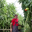Farmer Picking Tomato in Commercial Greenhouse — Stock Video