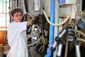 Woman Milking Cows - Dairy Farm — Foto Stock
