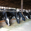 Stock Photo: Dairy Cows