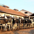 Dairy Farm and Milking Cows - ストック写真