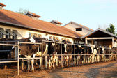 Dairy Farm and Milking Cows — Stok fotoğraf