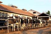 Mandıra ve sağılan inekler — Stok fotoğraf