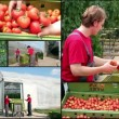 Tomatoes Growing in a Greenhouse - Collage — Stock Video #21134521