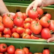 Tomato Harvest — Stock Video #21135525