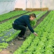 Stock Video: Greenhouse Vegetable Grower