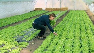 Greenhouse Vegetable Grower — Stock Video