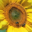 Stock Video: Honey bees On Sunflower