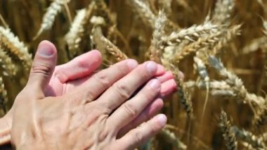 Wheat Grain In A Farmers Hand — ストックビデオ
