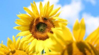 Good Morning Sunflower — Stock Video
