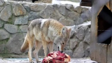 Coyote eating meat — Stock Video