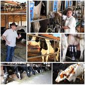 Fazenda de gado leiteiro - colagem — Foto Stock