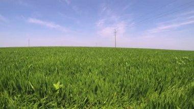 Campo de trigo verde num dia claro de primavera — Vídeo stock