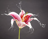 Pink flower with splashes — Stock Photo