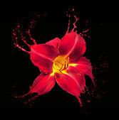 красный цветок брызги — Стоковое фото
