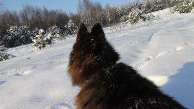 German Shepherd Dog at winter — Stock Video
